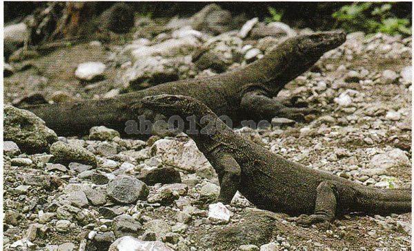 コモド国立公園の画像 p1_30