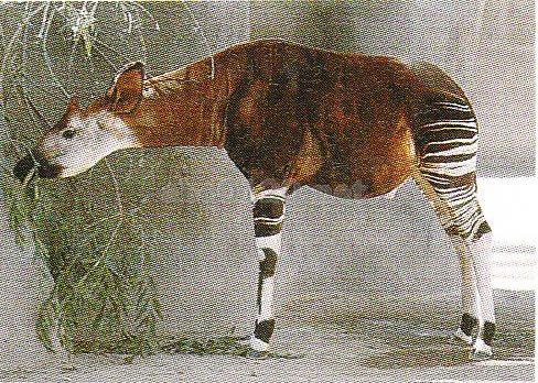 オカピ野生動物保護区(コンゴ民主共和国世界遺産) 【和:オカピやせいどうぶつほごく】 【中:】