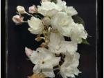 「品川、桜花爛漫~江戸時代の花見と観光~」品川区立品川歴史館