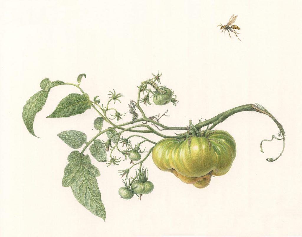 菱木明香《Heirloom tomato (Animas en el Agua)》, 2019–2020、紙に水彩、W 35.5 × H 27 cm